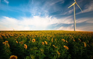 Field of sunflowers and wind turbines for clean energy
